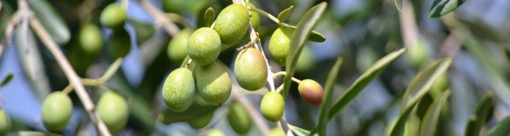 Olive Oil Natural