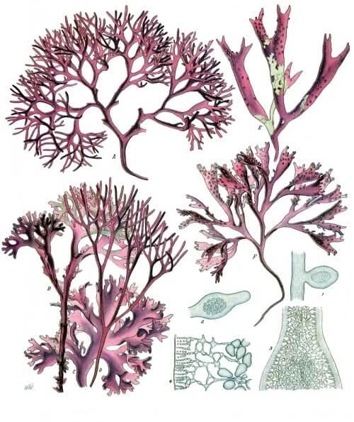 Red algae types